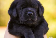 Inzercia psov: Labrador Rertiever FCI-UKU kennel