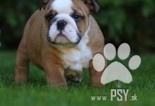 Inzercia psov: Anglicky Bulldog s PP