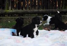 Inzercia psov: Štěně Tibetský teriér s PP