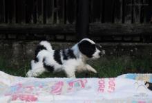 Inzercia psov: Tibetský teriér - štěňata s PP