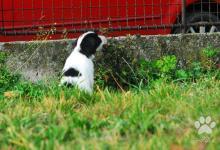Inzercia psov: Tibetský teriér - štěňata s průkazem původu