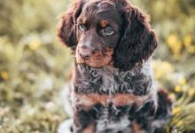 Inzercia psov: štěňata Pikardského ohaře