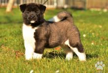 Inzercia psov: ŠTENIATKA AMERICKEJ AKITY