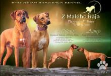 Inzercia psov: Rodézsky ridgeback - šteniatka s PP