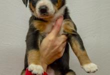 Inzercia psov: Entlebušský salašnícky pes s PP