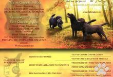 Inzercia psov: Labrador čokoládové šteniatka s PP