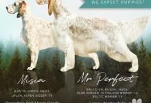 Inzercia psov: REZERVACIA šteňaťa anglického setra