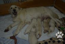 Inzercia psov: Zlatý retrívr nabídka štěňátek