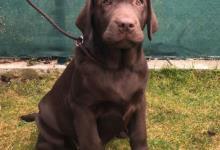 Inzercia psov: Labradorský retriever s pp