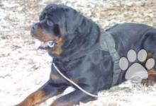 Inzercia psov: Ponúkam na krytie psa Rtw s pp