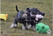 Inzercia psov: Bradáč sredný korenie soľ
