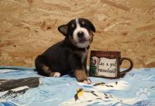 Inzercia psov: Velký švajčiarský salašnický pes