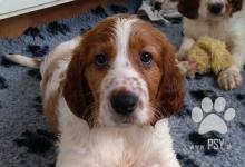 Inzercia psov: Írsky červenobiely seter - šteniatka