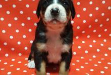 Inzercia psov: Velký švajčiarský pes
