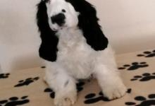 Inzercia psov: Anglický kokerspaniel