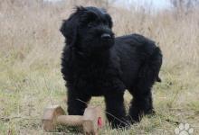 Inzercia psov: Černý briard pejsek