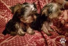 Inzercia psov: predám steniatka  yorksirskych terierov