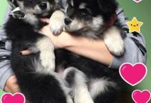 Inzercia psov: Prodám krásná štěňátka  - fenky Lapinkoiry s PP