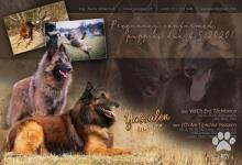 Inzercia psov: Belgický ovčiak Tervueren - štěňátka s PP