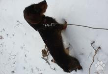 Inzercia psov: Predám jazvečíka