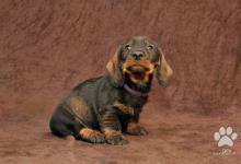 Inzercia psov: Šteniatka jazvečíka hrubosrstého - iba psíky