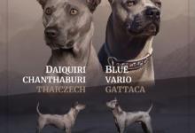 Inzercia psov: Thajský ridgeback - Exkluzivní modrá štěňata s PP