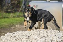 Inzercia psov: Catahoula-Louisianský leopardí pes  - šteniatko