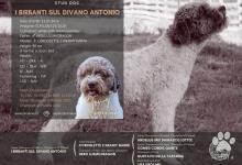 Inzercia psov: Lagotto Romagnolo ke krytí