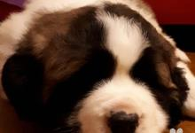 Inzercia psov: Moskovský strážny pes