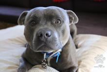 Inzercia psov: Kúpime Stafordšírskeho bulteriéra