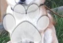 Inzercia psov: Shiba Inu