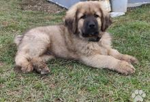 Inzercia psov: Tibetská doga