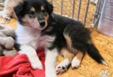 Inzercia psov: Dlhosrstá kólia - šteniatka s PP