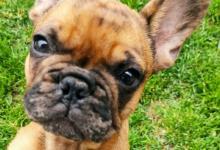 Inzercia psov: Predaj