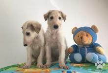 Inzercia psov: Barzoj biele šteniatka