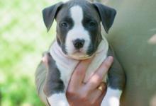Inzercia psov: Americký stafordšírsky teriér šteňa