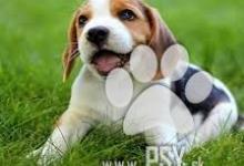 Inzercia psov: Kúpim šteniatko Bígla