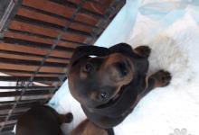 Inzercia psov: Predám šteniatka jazvečíka