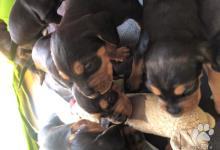 Inzercia psov: Srbský durič - šteniatka na predaj
