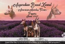 Inzercia psov: American Hairless Terrier - free for reservation