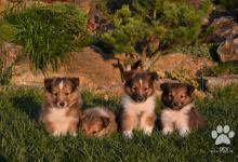Inzercia psov: Predám šteniatko šeltie