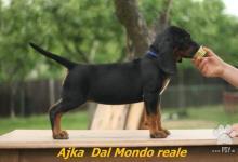 Inzercia psov: Polský poľovný pes/polský honič