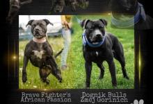 Inzercia psov: Šteňatá amerického pitbulteriéra