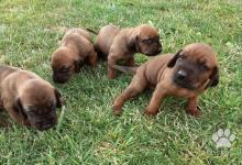 Inzercia psov: Bavorský farbiar - predám šteniatka