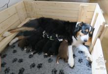 Inzercia psov: Austrálsky ovčiak s PP