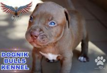 Inzercia psov: American Pit Bullterrier Puppies na predaj