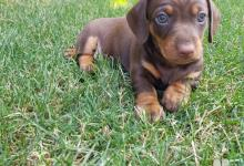 Inzercia psov: Predám nádherné 8 týždňové šteniatka - 2 psikov