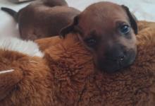 Inzercia psov: Predám šteniatko Tosa - Inu