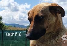 Inzercia psov: Gladys (Sia), aktívna fenka