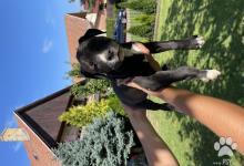 Inzercia psov: Šteňatá -Americký stafordšírsky teriér
